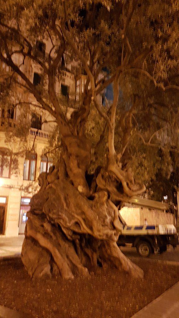 Olivera-centenaria-e1481212997749.jpg